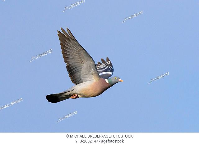Wood pigeon, Columba palumbus, Hesse, Germany, Europe
