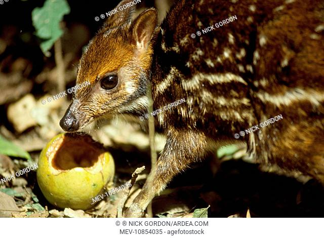 Mouse Deer / Water Chevrotain - eating fruit dropped by monkeys (Hyemoschus aquaticus). Gola forest West Africa