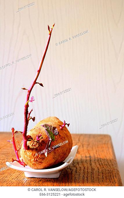 Sweet potato beginning to sprout. On white dish on wooden table