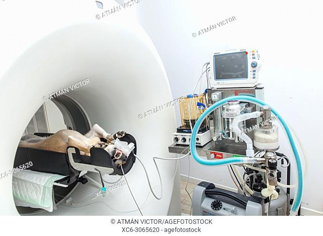Veterinarian performing a COMPUTED AXIAL TOMOGRAPHY to a dog