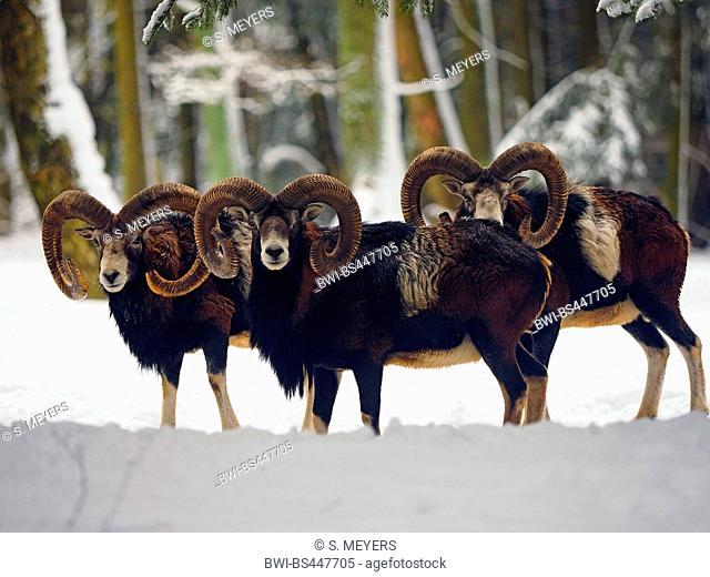 Mouflon (Ovis musimon, Ovis gmelini musimon, Ovis orientalis musimon), three mouflon rams in a snow-covered winter forest, Germany, Saxony