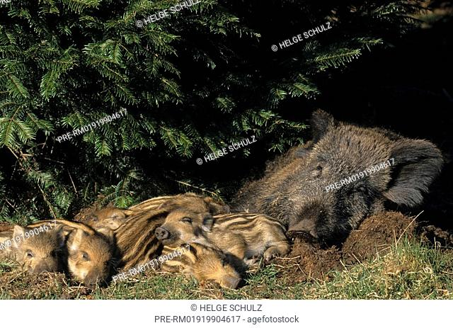 Wild Boar - sow & piglets , Sus scrofa