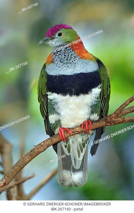 Wompoo Fruit Dove (Ptilinopus superbus), Queensland, Australia
