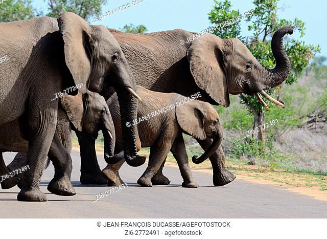 African bush elephants (Loxodonta africana), two adult females with two young, crossing a tarred road, Kruger National Park, South Africa, Africa