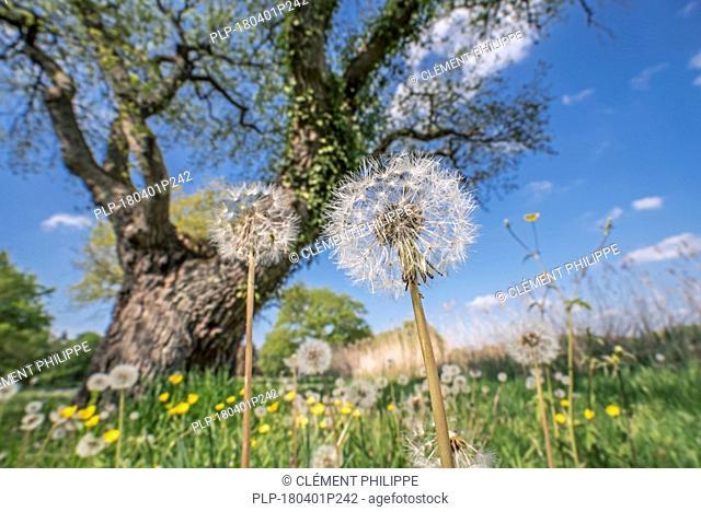Seed heads of common dandelions (Taraxacum officinale) under English oak / pedunculate oak tree (Quercus robur) in meadow in spring
