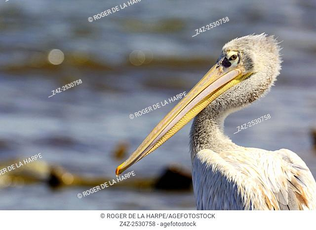 Pink-backed pelican (Pelecanus rufescens). Lake Nakuru. Nakuru. Great Rift Valley. Kenya
