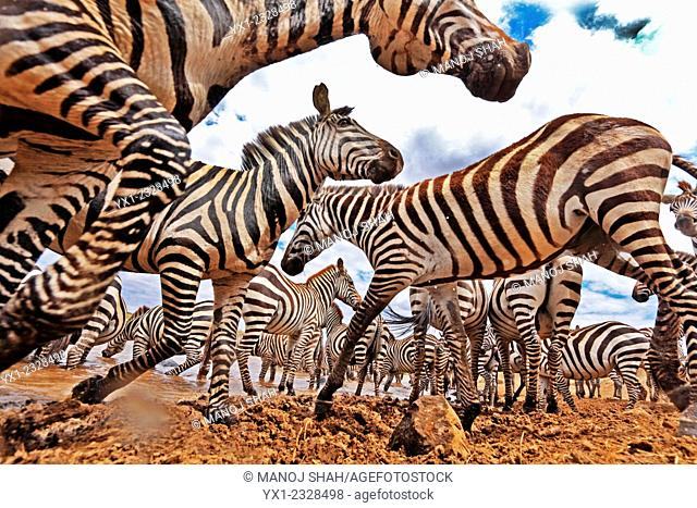 A secretly hidden camera in the middle of a migrating Zebra herd, Masai Mara National Reserve, Kenya
