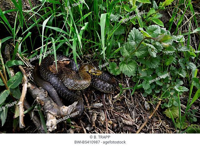 Aesculapian snake (Elaphe longissima, Zamenis longissimus), in defence posture on the ground, Germany, Baden-Wuerttemberg, Odenwald