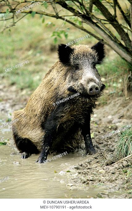 Wild Pig - sow taking mud bath (Sus scrofa)