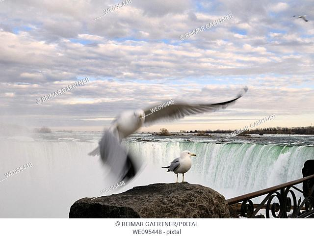 Flying and standing Ring Billed Gull at a rock beside Niagara Falls Canada at sundown