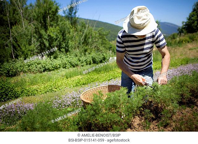 Reportage on herbalists in the Bauges mountain range in Savoie, France. They grow and sell organic aromatic and medicinal plants
