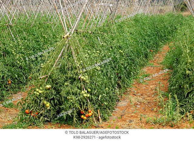 Huerto de tomates, santa Gertrudis de Fruitera, Ibiza, Balearic Islands, Spain