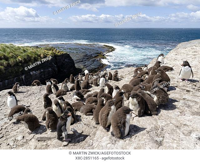 Rockhopper Penguin (Eudyptes chrysocome), subspecies western rockhopper penguin (Eudyptes chrysocome chrysocome). Colony on cliff with creche guarded by adults