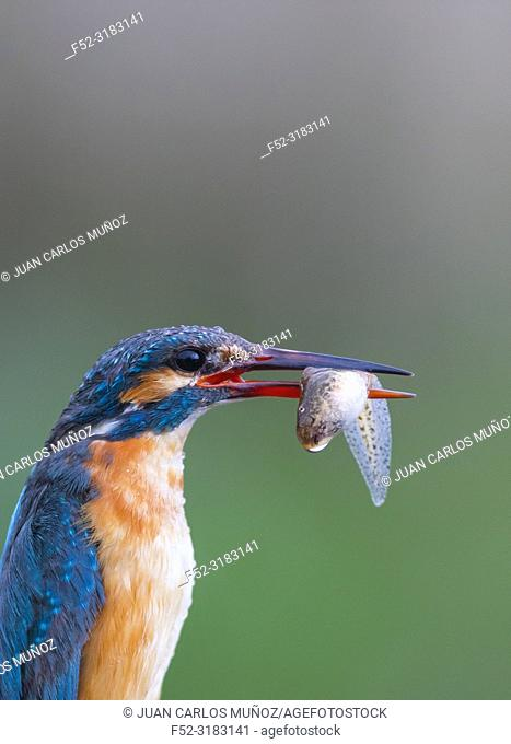 Common kingfisher or Eurasian kingfisher (Alcedo atthis) with fish. Sierra de San Pedro, Caceres Province, Spain