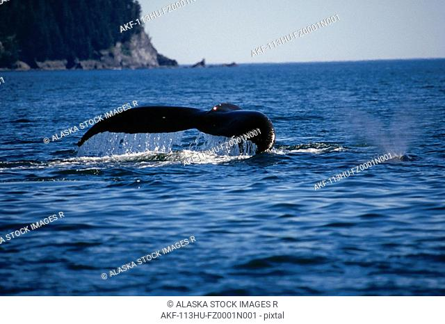 Humpback Whales Swimming On Surface Kodiak Archipelago AK SW Summer Afognak Is