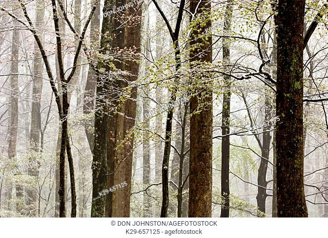 Wet snow in deciduous woodland. Great Smoky Mountains National Park, Tennessee, Appalachian, USA