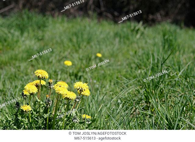 Common Danelions (Taraxacum officinale). Vendee , France