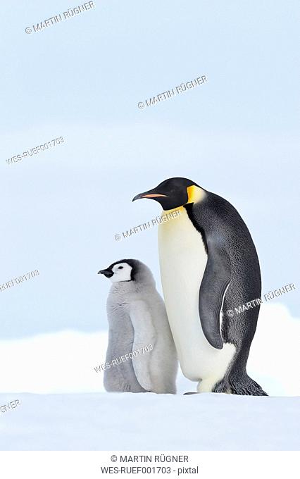 Antarctica, Snow Hill Island, Emperor penguin with chick