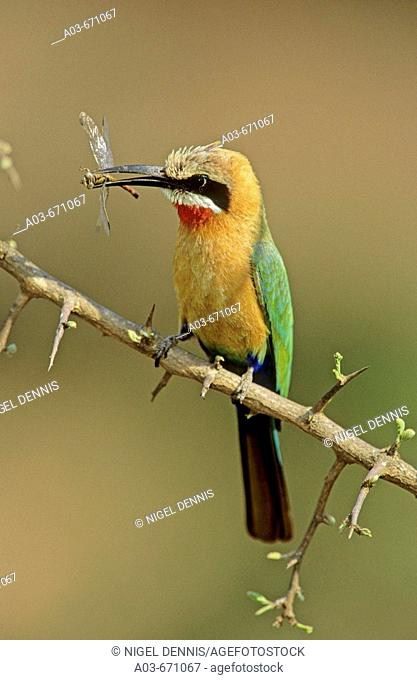 White-fronted Bee-eater, Merops bullockoides, with dragonfly, Kruger National Park, South Africa