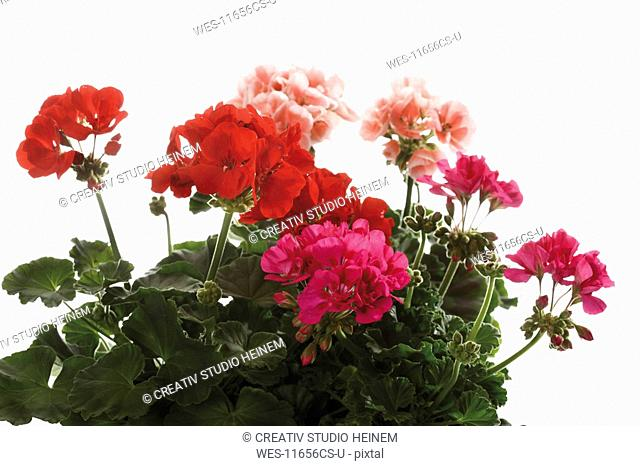 Geranium flowers Pelargonium