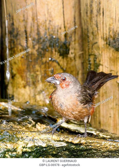 Bird, Tiê-blood, Ilha do Mel, Encantadas, Paraná, Brazil