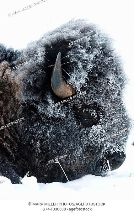 Bison with Hoar Frost -MG-5735
