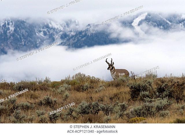Pronghorns (Antilocapra americana) in sage against foggy mountains, Grand Teton Naitonal Park, Wyoming, USA
