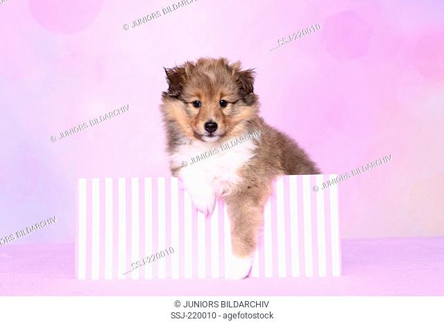 Shetland Sheepdog. Puppy (6 weeks old) looking out from a red-and-pink striped box. Studio picture against a pink background