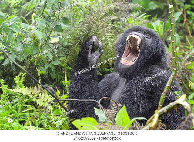 Mountain Gorilla (Gorilla gorilla beringei) female from the Agasha group, portrait in rain and yawning, Volcanoes national park, Rwanda