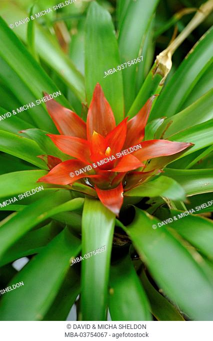 Blazing sword, Vriesea splendens, close-up
