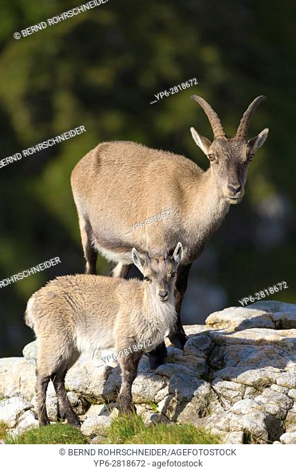 Alpine Ibex (Capra ibex), adult female and young standing on rock, Niederhorn, Bernese Oberland, Switzerland