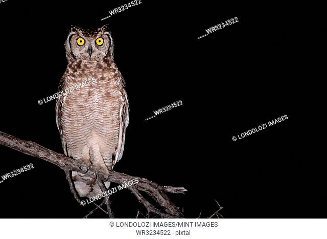 Spotted eagle owl, Bubo africanus, alert, perched on a branch at night
