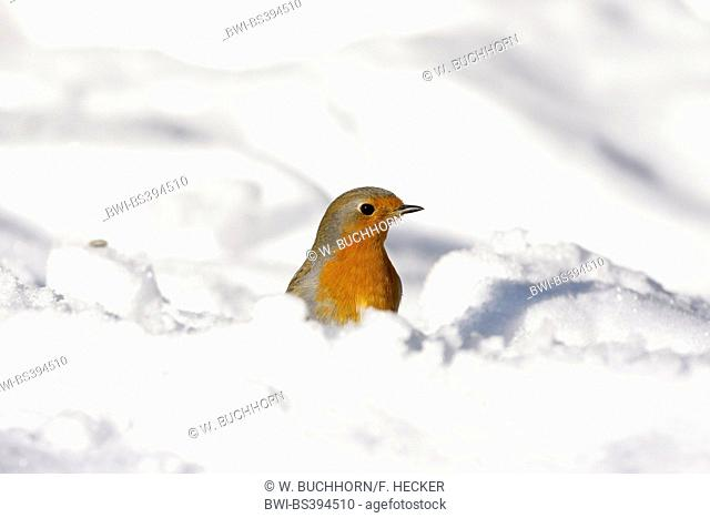 European robin (Erithacus rubecula), in snow, Germany