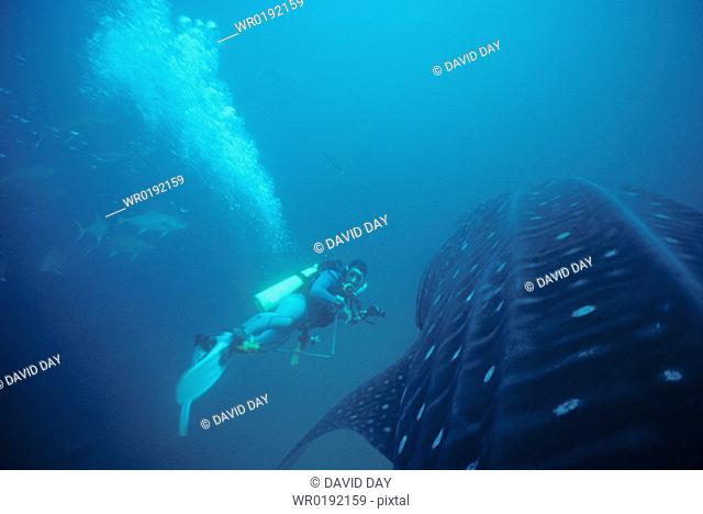 Researcher alongside head of whale shark with attendant almaco jack Rhincodon typus Punta Espejo, Marchena Island, Galapagos, Ecuador