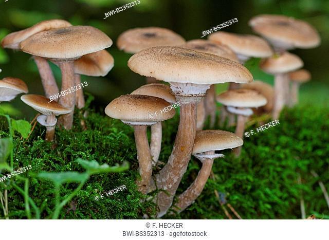 Dark honey fungus, Honey mushroom (Armillaria ostoyae, Armillariella polymyces, Armillaria solidipes), several fruiting bodies on forest floor, Germany