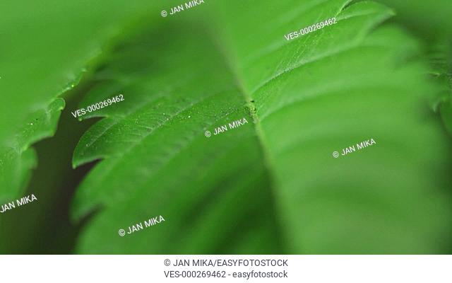 Macro of green Marijuana leaf, zoom effect