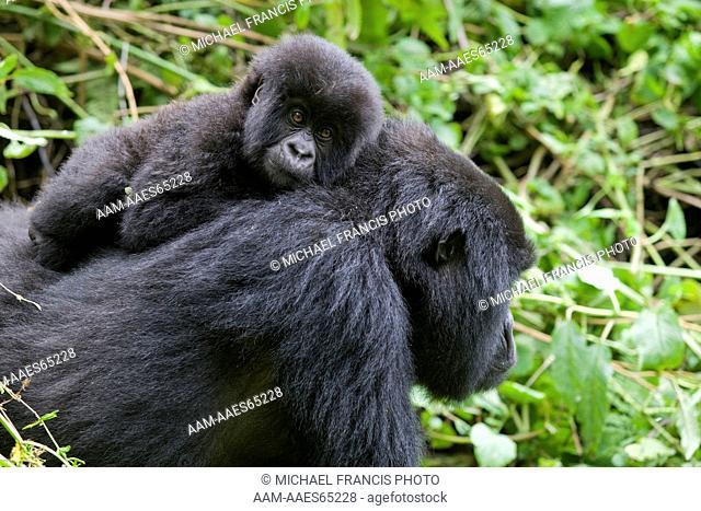 Mountain Gorilla (Gorilla gorilla beringei), Endangered, Volcanoes National Park, Ruhengeri, Virunga Mountains, Rwanda