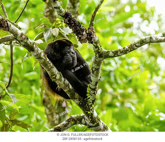 Mantled Howler Monkey, Alouatta palliata, in a tree in the rainforest of Costa Rica. This is the largest species of monkey in the New World