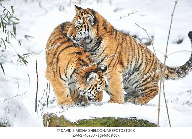 Close-up of two Siberian tiger (Panthera tigris altaica) youngsters in winter