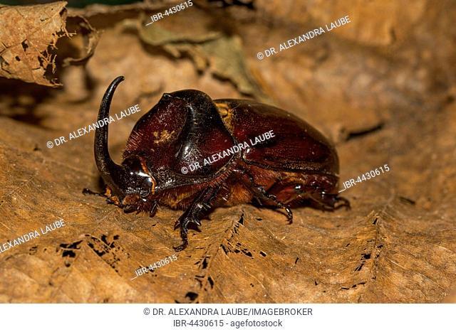 European rhinoceros beetle (Oryctes nasicornis) on foliage, Ankarafantsika National Park, Western Madagascar, Madagascar
