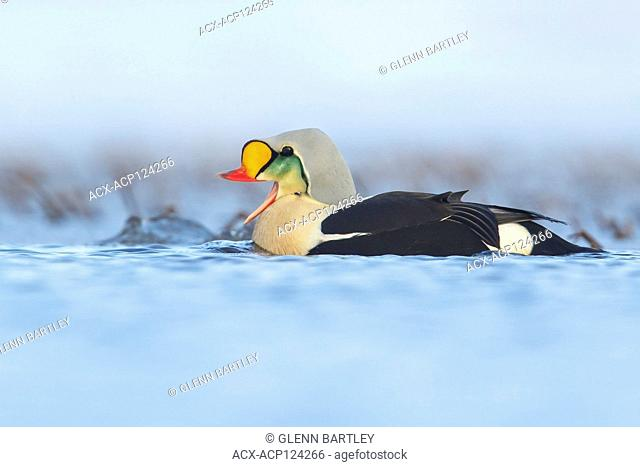 King Eider (Somateria spectabilis) feeding on a small pond on the tundra in Northern Alaska