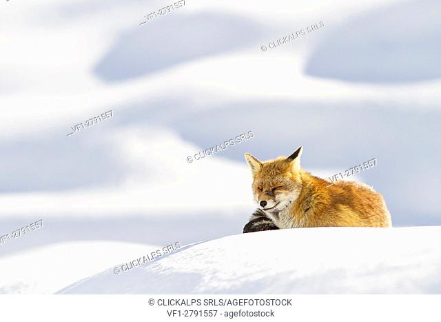 Gran Paradiso National Park, Piedmont, Italy. Red fox