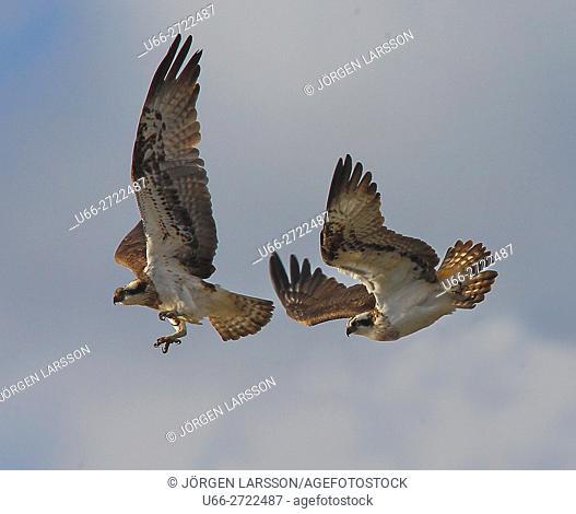Sweden, Sodermanland, Anhammar, Ospreys (Pandion haliaetus) flying
