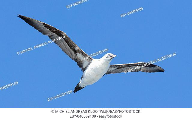 Young Northern Gannet (Morus bassanus) in flight, blue sky, Iceland