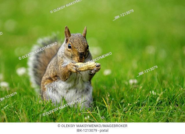 Gray squirrel (Sciurus carolinensis) sitting on green grass and eating a peanut