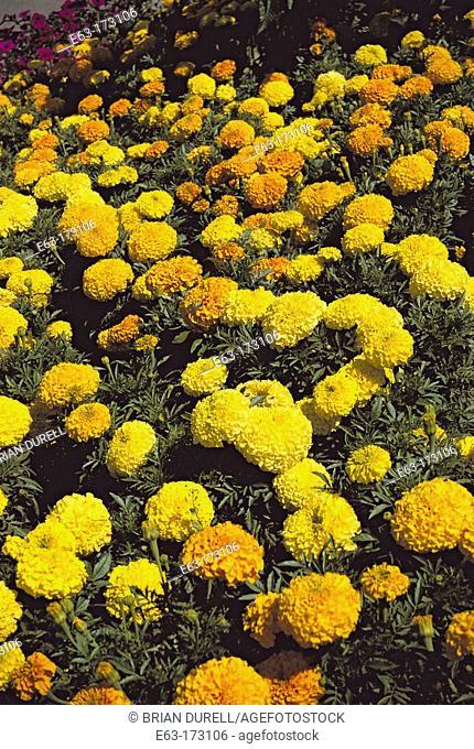 African Marigolds (Tagetes erecta 'Antigua Mix'). Canada