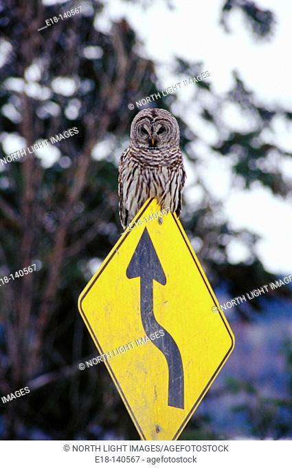 Hawk Owl perched on highway sign. British Columbia. Canada