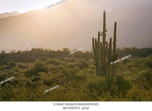 Giant Saguaro (Carnegiea gigantea), National Park, Tucson, Arizona, USA