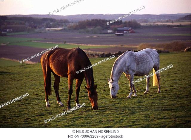 Two horse grazing in the field