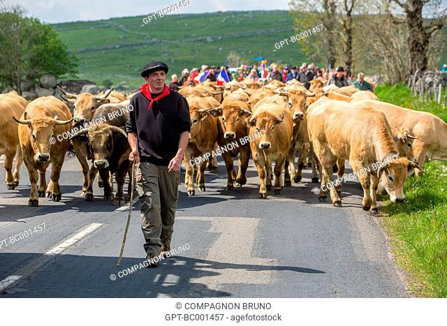 FARMER AND HERD ON THE ROADS IN THE COMMUNE OF MARCHASTEL, AUBRAC COW TRANSHUMANCE FESTIVAL, LOZERE (48), FRANCE